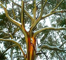 Snowgum at Mt Donna Buang by Nino Ulaan