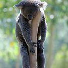 Levitating Koalas - Rockhampton, Queensland Australia by Gryphonn