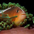 Anemone Fish - Myamar/Burma by PatrickNeumann