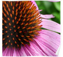 Pink Coneflower (Echinacea Purpurea Magnus) Poster
