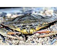 Blue Claw Crab in the Sand Photographic Print