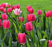 Spring red tulip flowers and green leaves by naturematters