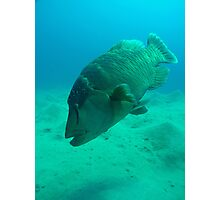 Giant Trigger Fish Photographic Print