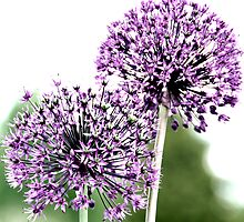 Cotswolds Allium Duo by aruni