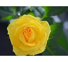 pretty yellow rose flower. floral nature photography. Photographic Print