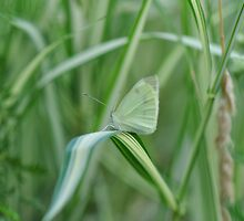 Camouflage Cabbage Butterfly by Poete100