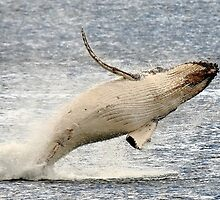 humpback whale calf. bicheno, tasmania by tim buckley | bodhiimages