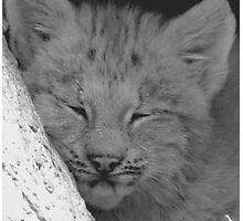lynx cub Photographic Print