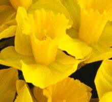 A Bunch of Daffodils Sticker