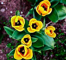Yellow tulips. by OlurProd