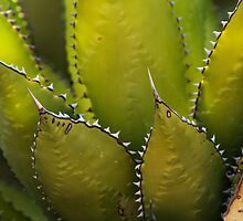 Agave Glow by Richard G Witham