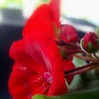 Back Porch Geranium  (calendar shot)  ^ by ctheworld