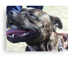 staffordshire bull terrier head Canvas Print