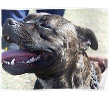 staffordshire bull terrier head Poster