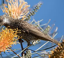 The Little Wattlebird. by JayWolfImages