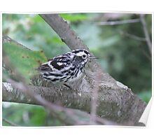 Black and White Warbler - Mniotilta varia. Male. Poster