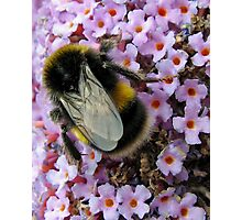 Up Close and Personal - Bumble Bee at Work  Photographic Print