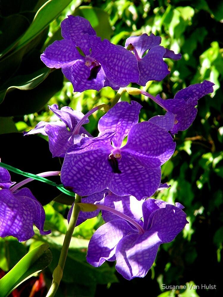 My Purple Beauty by Susanne Van Hulst