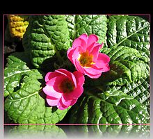 Sunkissed Pink Primroses in Reflection Frame by BlueMoonRose