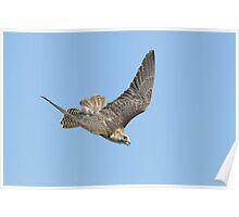 Saker Falcon 'Milly' Poster