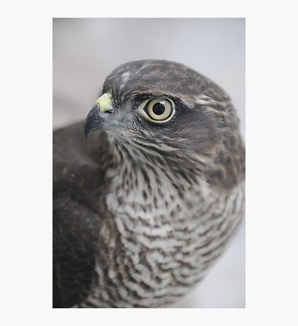 Sparrowhawk 'Buffy' Photographic Print