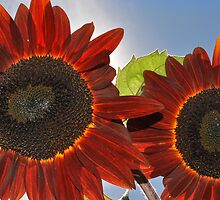 Burgandy Red Sunnies by Corinne Noon