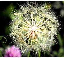 Wild Dandelion by KrysM