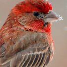 House Finch - Close up by barnsis