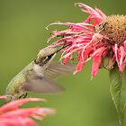Ruby Throated Hummingbird 4-2015 by Thomas Young