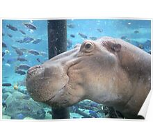 Captive Hippo Poster