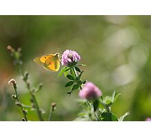 Yellow Butterfly Pink Clover Photographic Print