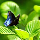 Red-spotted Purple Butterfly (Limenitis arthemis) - Pennsylvania, USA by Jason Weigner
