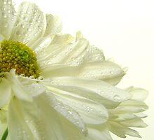 Summer Daisy - 2 by Gloria Abbey