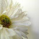 Summer Daisy - 3 by Gloria Abbey