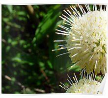 Buttonbush - Cephalanthus occidentalis Poster