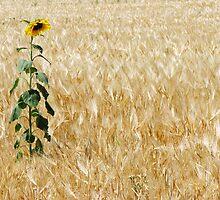 Lone Sunflower by David Kocherhans