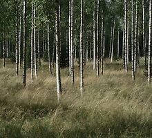 Birchwood by tanmari
