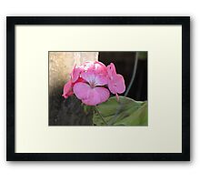 Beautiful in Pink Sweet Williams Framed Print