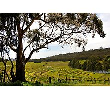 Vineyard Landscape in Springtime Photographic Print