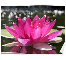 Water Lilly on Pond Poster