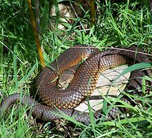 Copperhead Snake by Matthew Walmsley-Sims