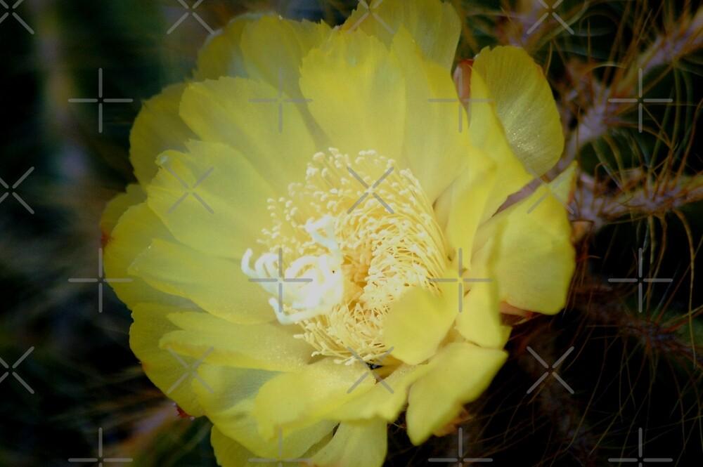 Yellow cacti flower by loiteke