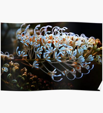 Grevillea leucoclada Poster