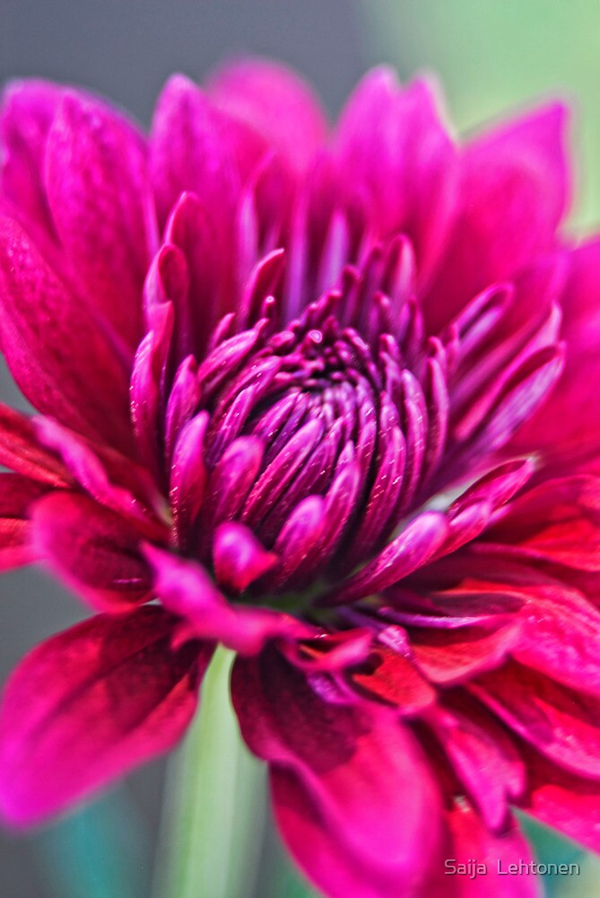 Purple Passion  by Saija  Lehtonen