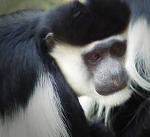 Colobus Monkey by Magnetic
