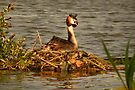 Great Crested Grebe on Nest by Jo Nijenhuis
