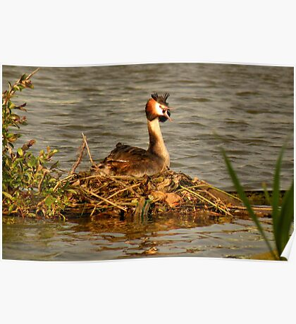 Great Crested Grebe on Nest Poster