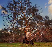 River Red Gums by Bette Devine