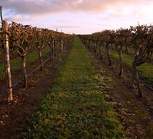 Vineyard at Dawn 2 by Courtney McIntyre
