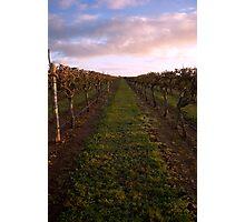 Vineyard at Dawn 2 Photographic Print